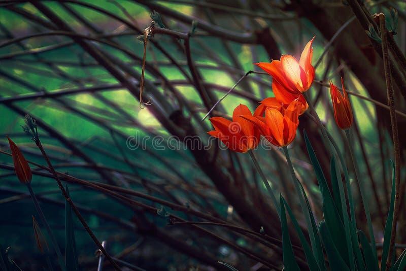 Tulipes d'imagination photographie stock