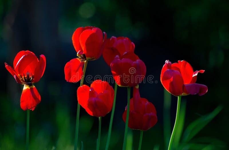 Tulipes d'un groupe remplies de soleil photographie stock libre de droits