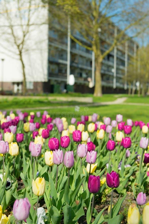 Tulipes dans le jardin image libre de droits