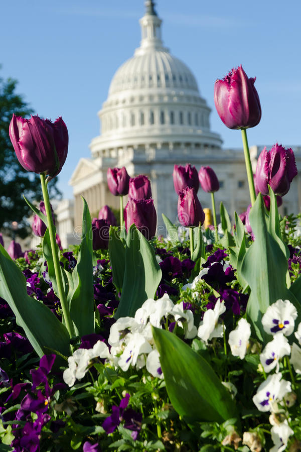 Tulipes dans le Washington DC photo libre de droits