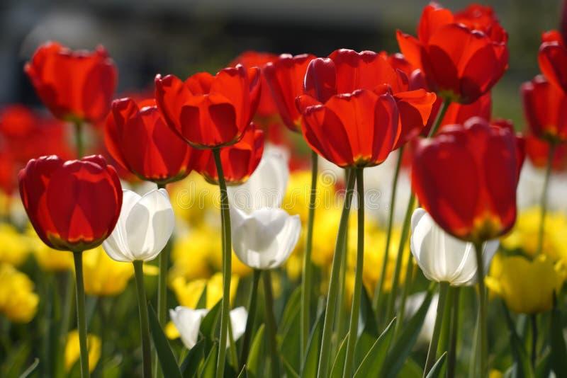 Tulipes dans leur variété de couleurs images libres de droits