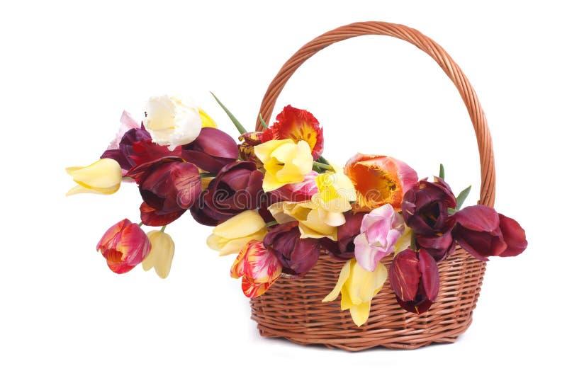 Tulipes dans un panier en osier d'isolement sur le blanc photos stock