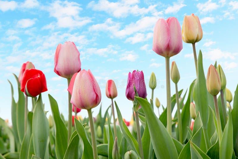 Tulipes dans un parterre extérieur avec le ciel bleu et les nuages photos stock