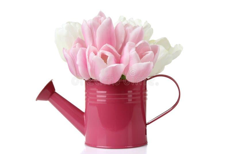 Tulipes dans une boîte d'arrosage photos stock