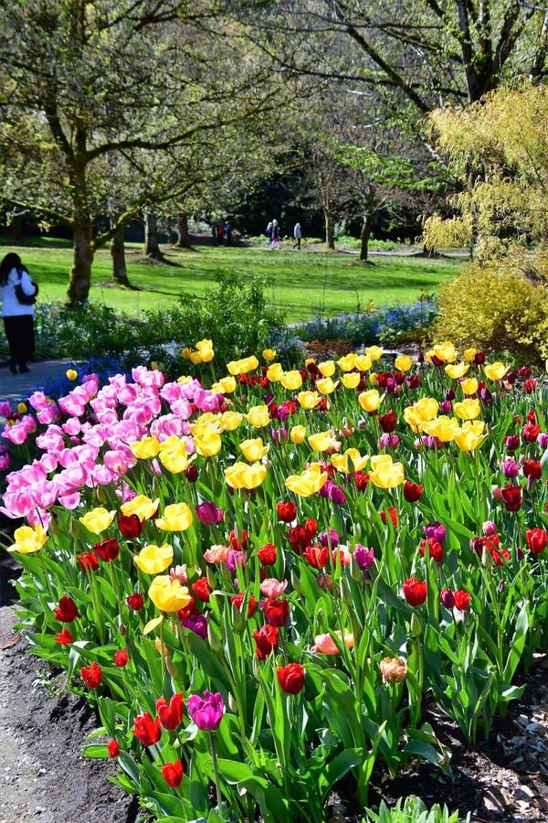 Tulipes dans Van DuSen Gardens Vancouver AVANT J?SUS CHRIST Harbpr photographie stock libre de droits