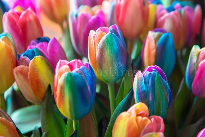 Tulipes de fleurs de ressort d'arc-en-ciel Tulipe et arc-en-ciel néerlandais photographie stock libre de droits