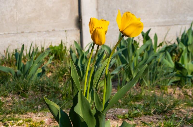 Tulipes de fleurs de ressort dans le jardin dans le sol photos libres de droits