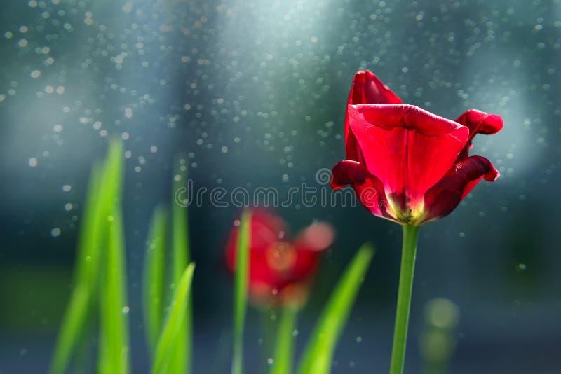 Tulipes de floraison photo libre de droits
