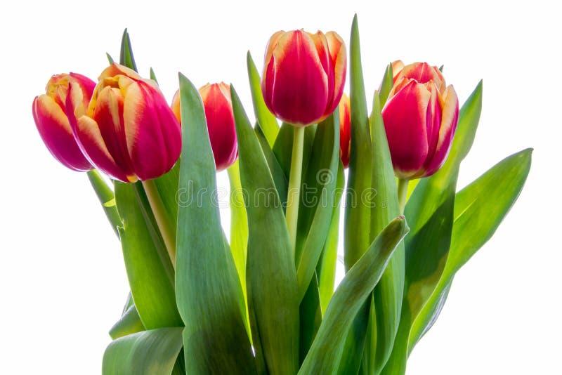 tulipes de fond blanches images libres de droits