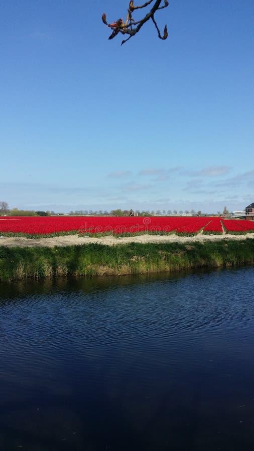 Tulipes de Hollande photos stock