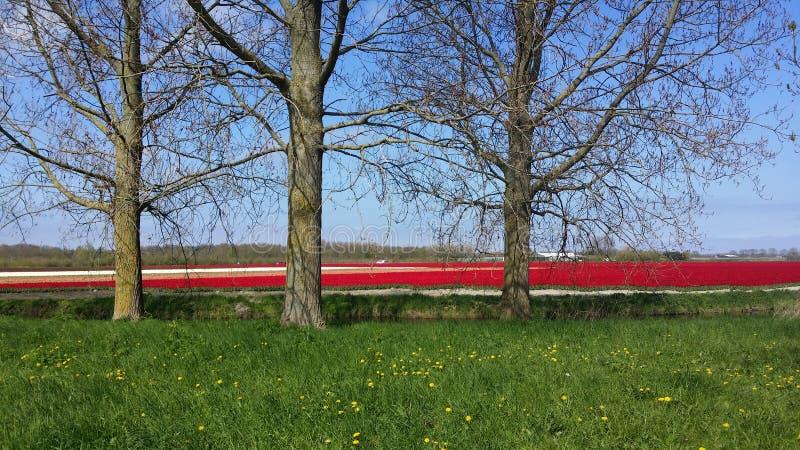 Tulipes de Hollande images libres de droits