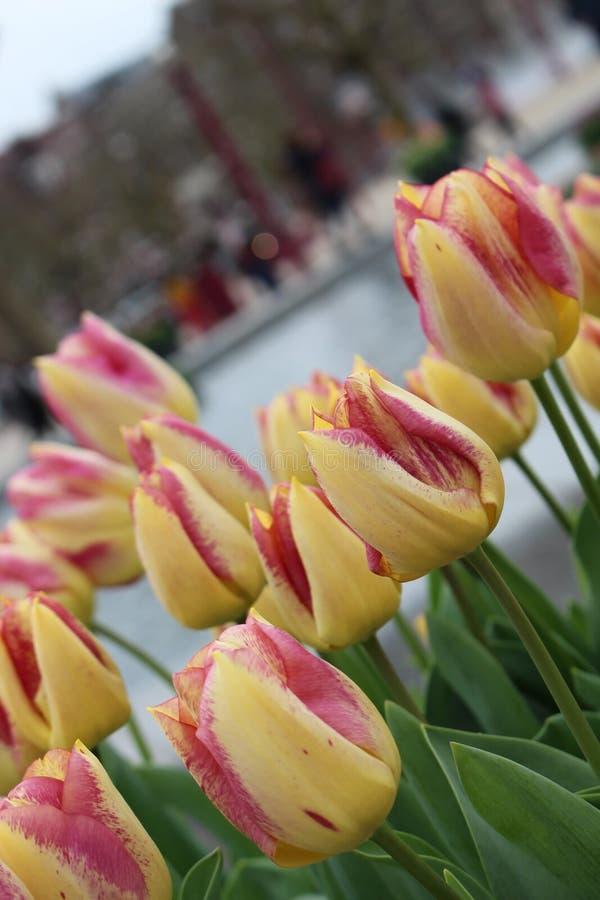 Tulipes de lever de soleil de tequila Lit de fleur des tulipes jaune-rouges photo stock