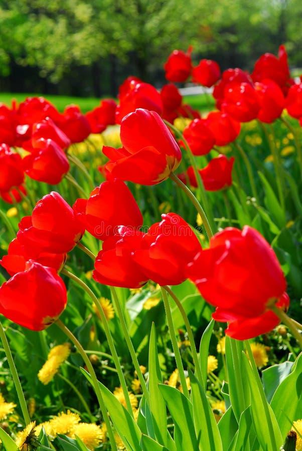 Tulipes de printemps rouge photographie stock libre de droits