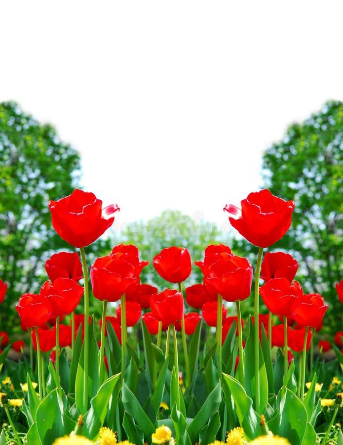 Download Tulipes de printemps rouge photo stock. Image du floral - 4350222