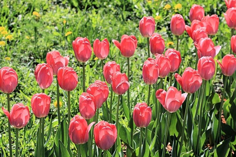 Tulipes de printemps rouge - guerriers de beauté dans une ligne simple photos libres de droits