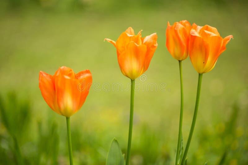 Tulipes de ressort photos stock