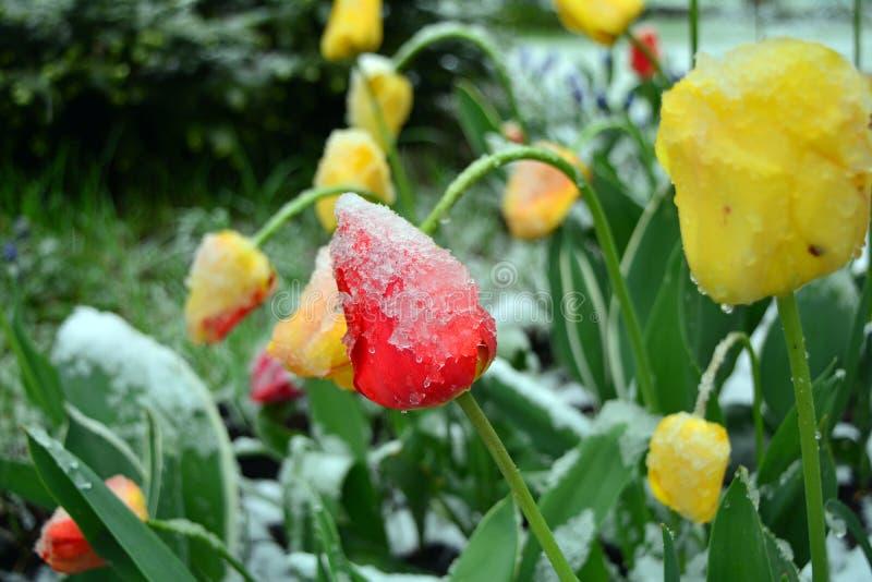 Tulipes de ressort avec des restes de neige sur un jardin Macro photographie stock libre de droits