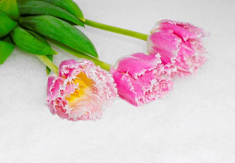 Tulipes de ressort sur la neige photographie stock libre de droits