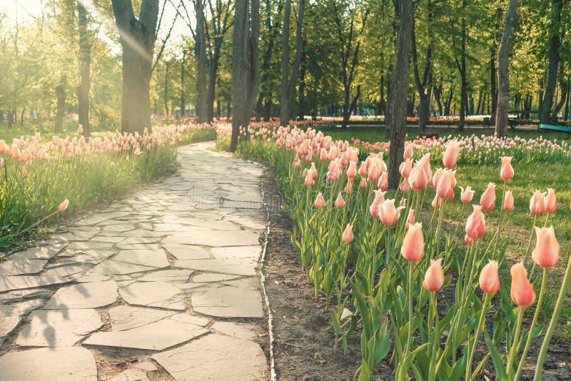 Tulipes de rose de lit de fleur avec la lumière du soleil en parc public Tulipes colorées dans le jardin d'agrément, arborétum Pa image stock