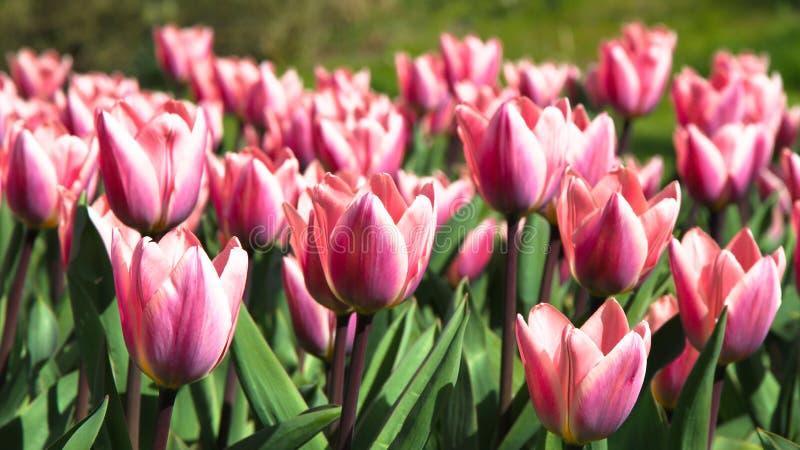 Tulipes de rose de ressort et blanches fleurissant avec la tige verte dans un domaine de jardin à Amsterdam L'image de concept pe photo stock