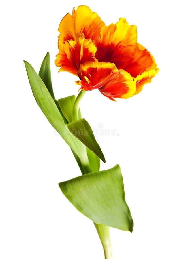 Tulipes de source photo stock