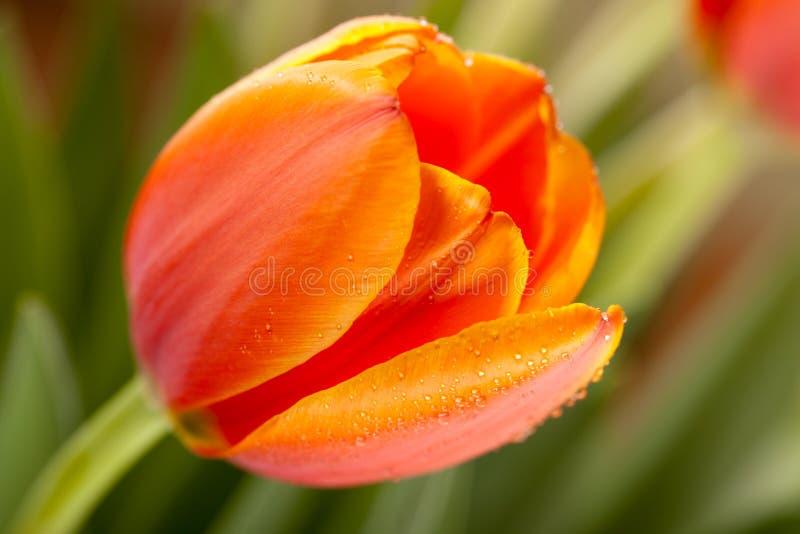 Download Tulipes de source photo stock. Image du vibrant, floral - 8656994