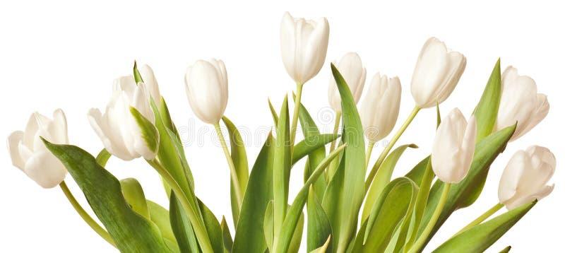 Tulipes de source dans le blanc image libre de droits