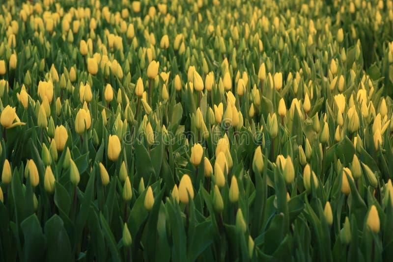 Tulipes de texture photos libres de droits
