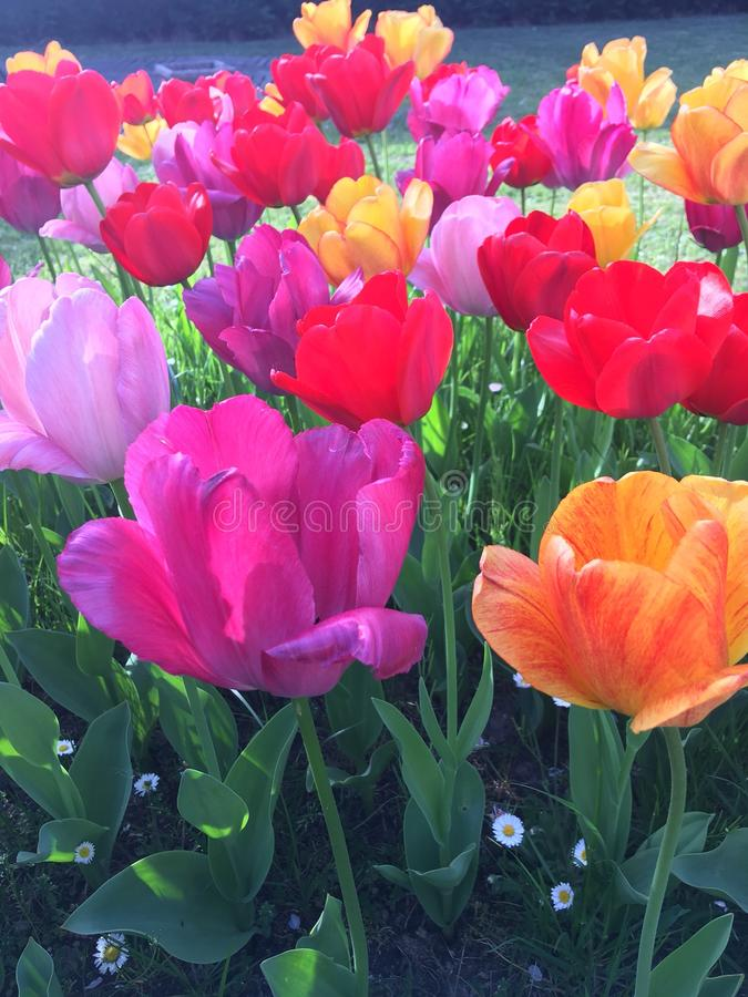 Tulipes du jardin стоковое фото