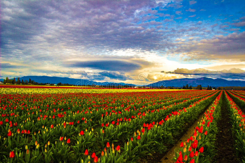 Tulipes embrasées photo libre de droits