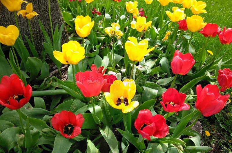 Tulipes en abondance photos libres de droits
