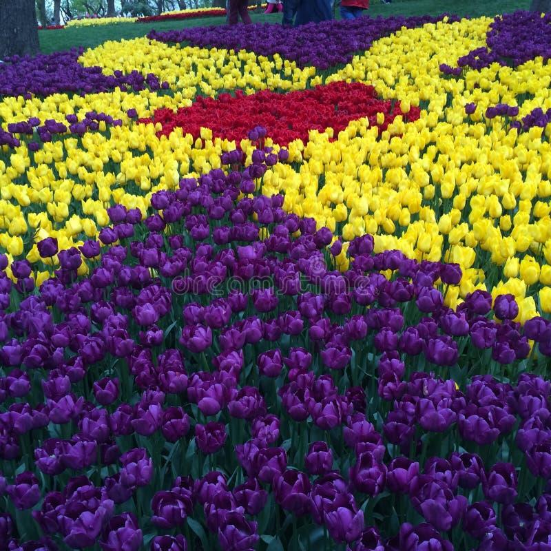 Tulipes en abondance image stock