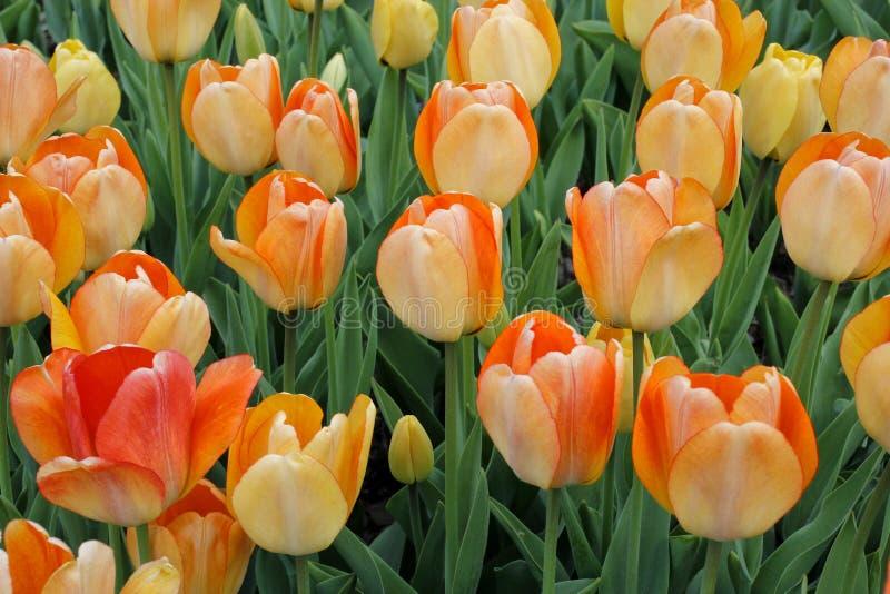 Tulipes en abondance photo libre de droits