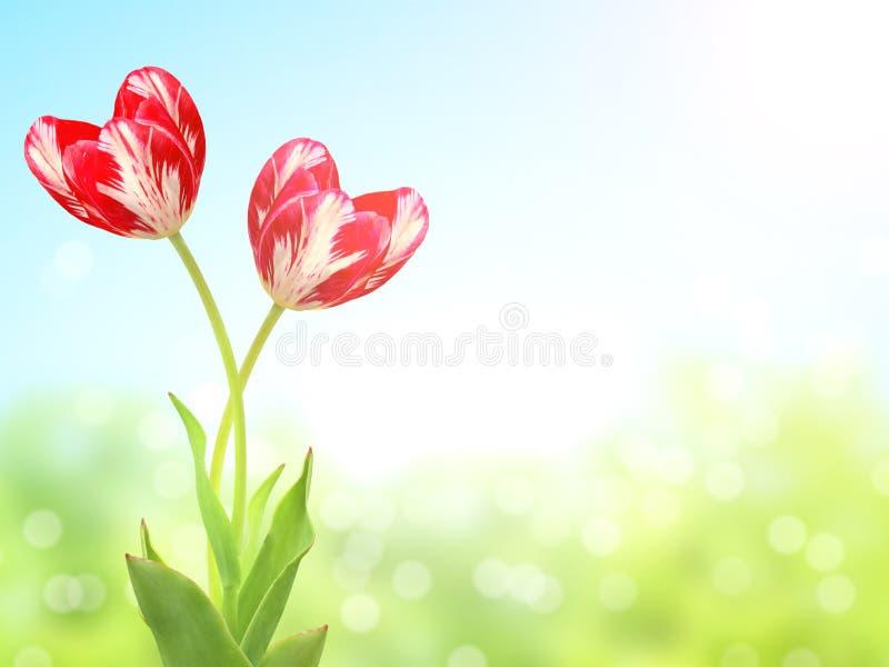 Tulipes en forme de coeur sur le fond ensoleillé de ressort photo stock