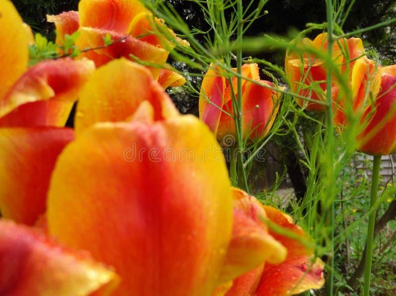 Tulipes et asperge photos libres de droits