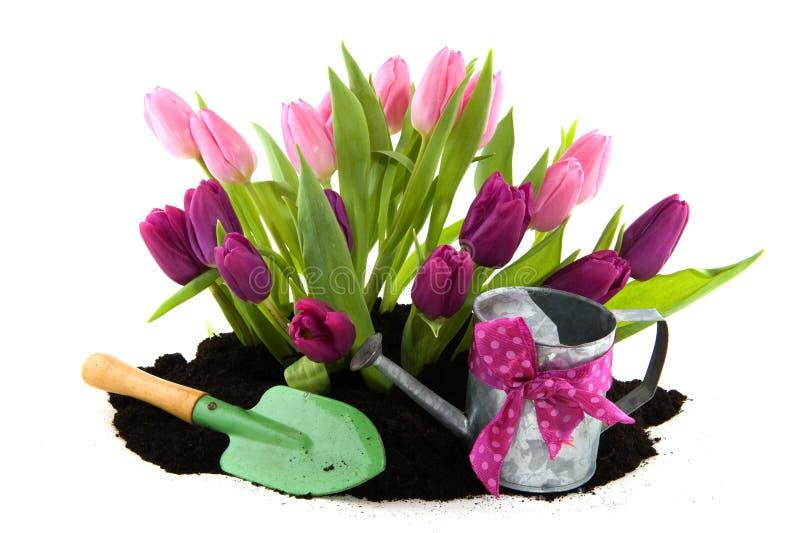 Tulipes et bidon d'arrosage image stock