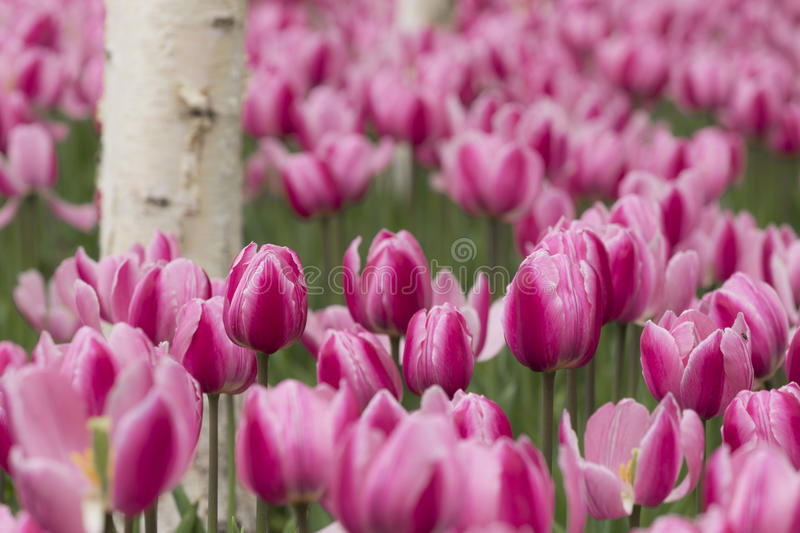 Download Tulipes et bouleau blanc image stock. Image du arbres - 56487137