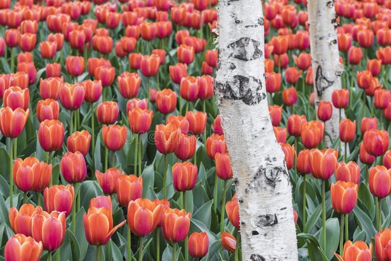 Download Tulipes et bouleau blanc image stock. Image du couleur - 56487753