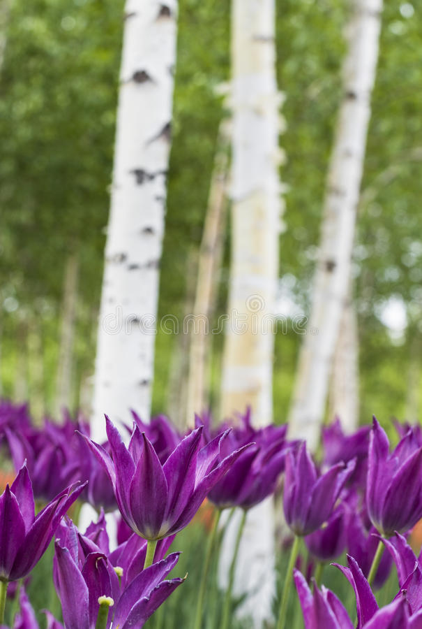 Download Tulipes et bouleau blanc image stock. Image du course - 56487867