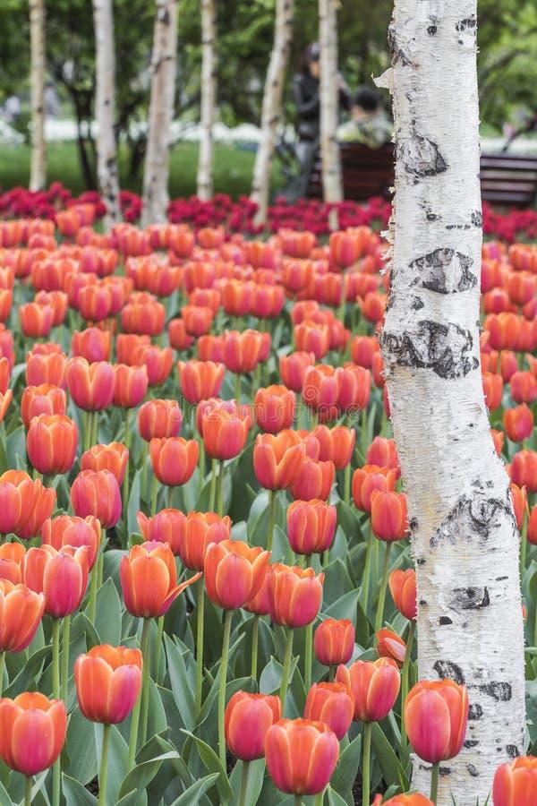 Download Tulipes et bouleau blanc photo stock. Image du ensoleillé - 56487908