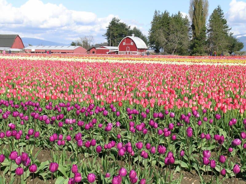 Tulipes et grange colorées multi photographie stock libre de droits