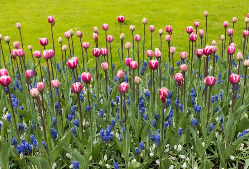 tulipes et jacinthe bleue fleurissant dans un jardin photos libres de droits