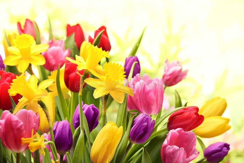 Tulipes et jonquilles colorées photos libres de droits