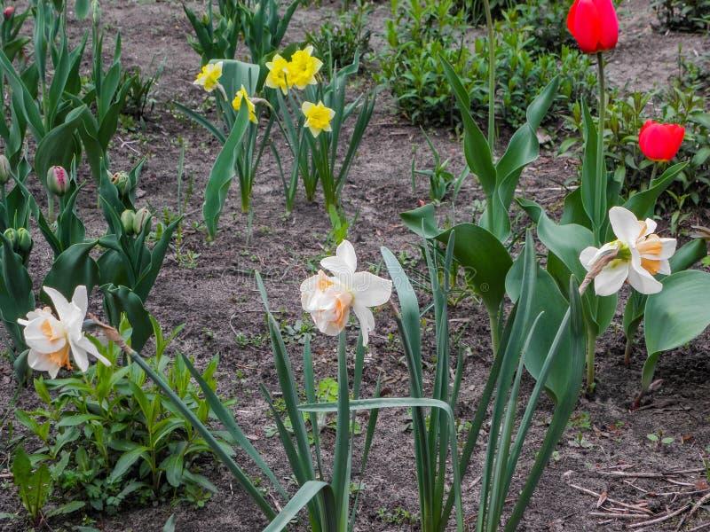 Tulipes et jonquilles de fleurs de ressort dans le jardin dans le sol photos libres de droits