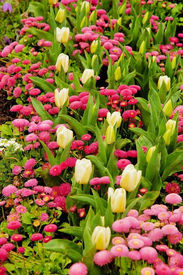 Tulipes et marguerites images stock