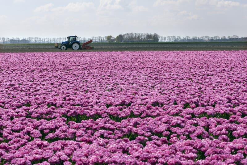 Tulipes et tracteur roses dans le paysage néerlandais image libre de droits