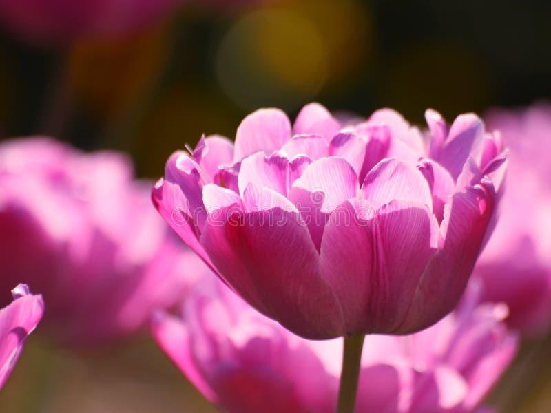 Tulipes : Fleurs de valentines de jour de mères - photos courantes photographie stock libre de droits