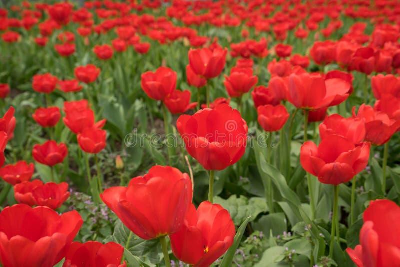 tulipes, fleurs rouges, renaissance, usines décoratives, milieux pour l'ordinateur, ressort, avril, jardin, nature images stock