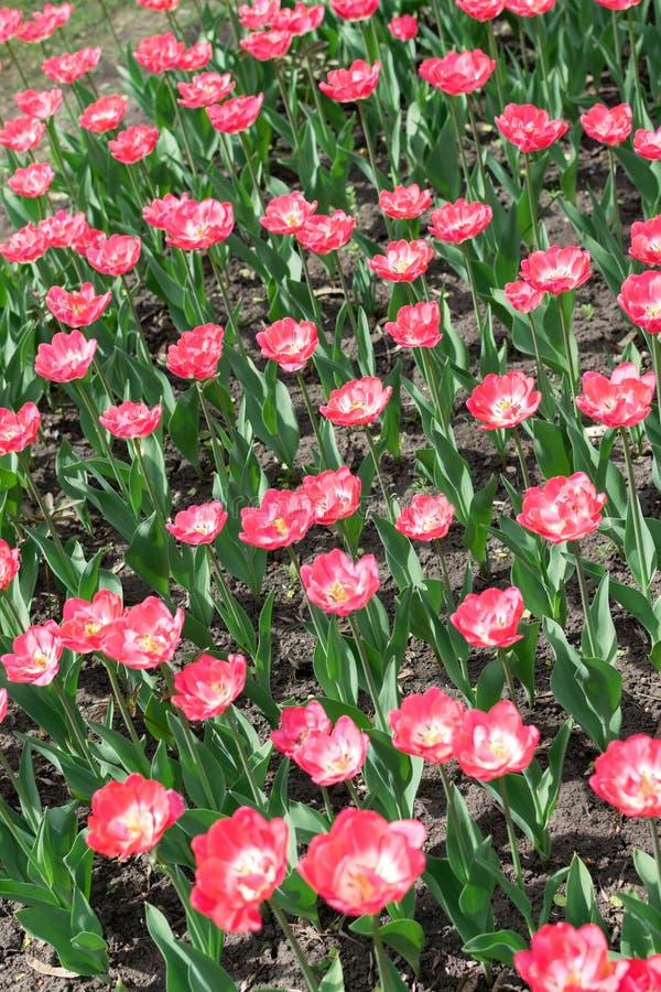 Tulipes fond vertical, bannière verticale de rose Tulipes roses colorées dans le jardin d'agrément, arborétum Parc de lit de fleu image stock
