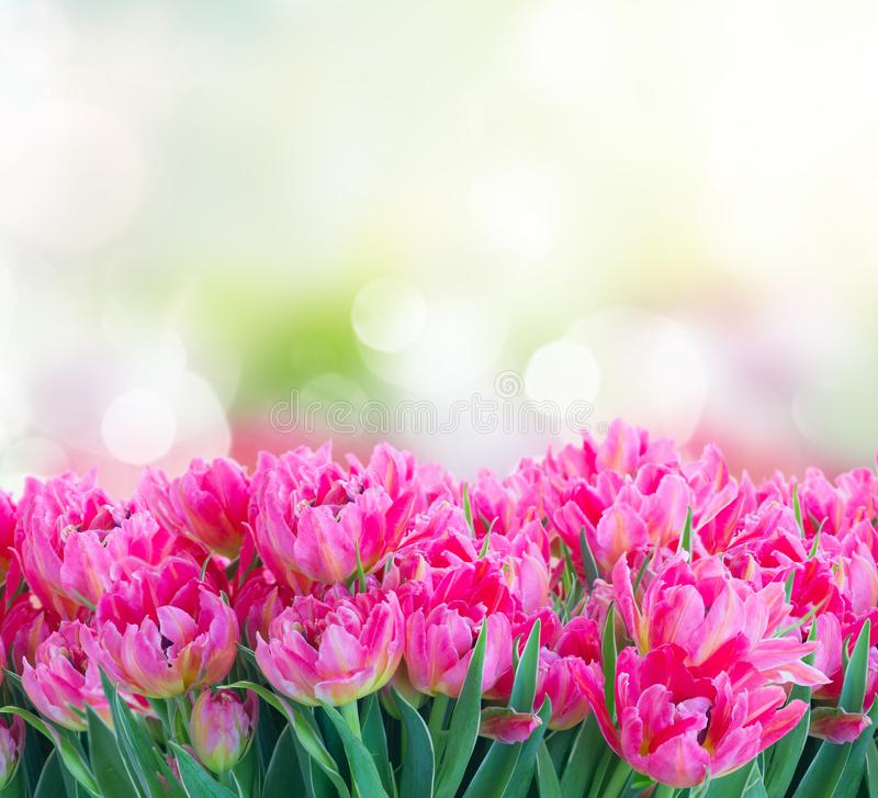 Tulipes fraîches roses image libre de droits